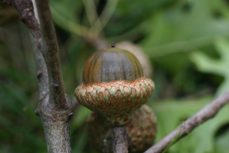 quercus ellipsoidalis acorn