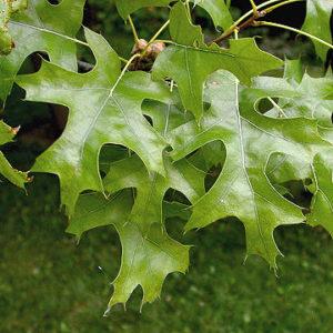 quercus ellipsoidalis leaves