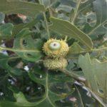 Relict Bur Oak (Quercus macrocarpa 'Relict')