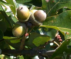 nebraska quercus stellata acorns