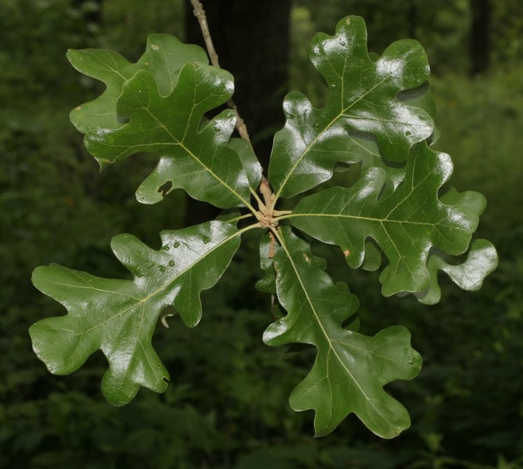 quercus stellata leaves