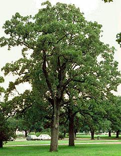 Nebraska quercus stellata