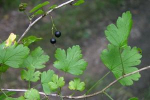 ribes missouriense fruit