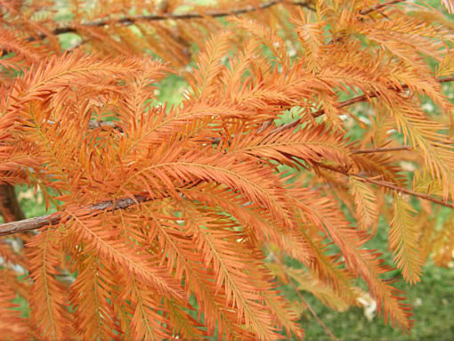 taxodium distichum fall color