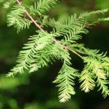 taxodium distichum leaves