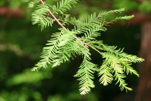 taxodium distichum leaves