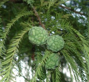 taxodium distichum seed
