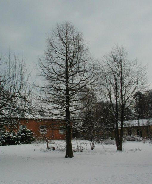 taxodium distichum winter