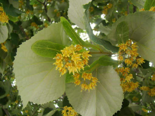 Nebraska tilia tomentosa flower
