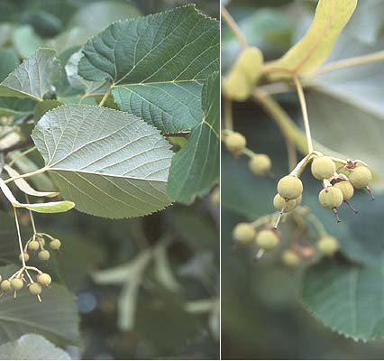Nebraska tilia tomentosa leaf fruit