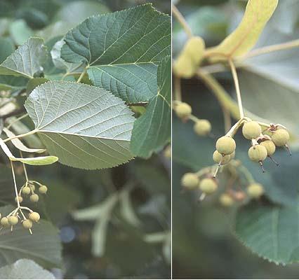 Nebraska tilia tomentosa leaf fruit