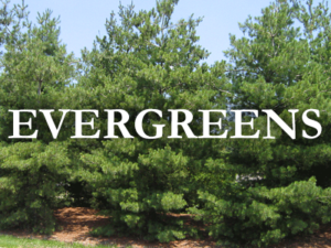 nebraska evergreens