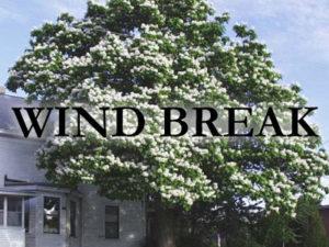 windbreak trees