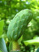cucumber magnolia fruit