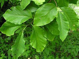 magnolia acuminata leaves