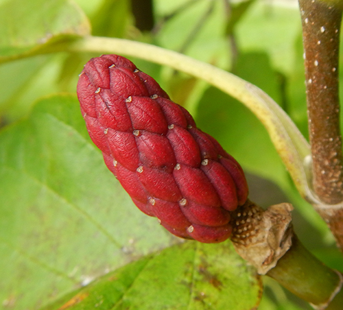 magnolia acuminata red fruit