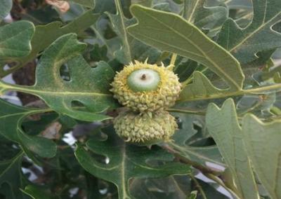 Relict Oak