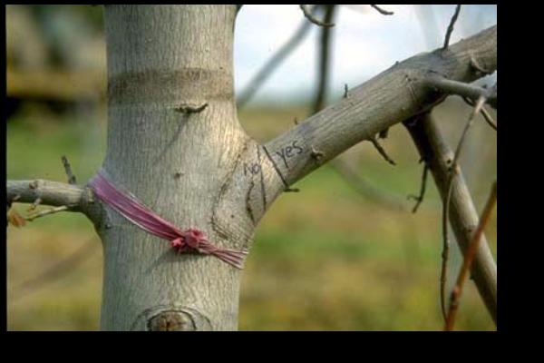 Before-Pruning-Cut(1)
