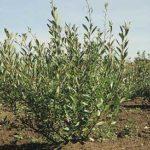 Western Sandcherry (Prunus besseyi)