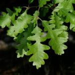 Gambel Oak (Quercus gambelii)