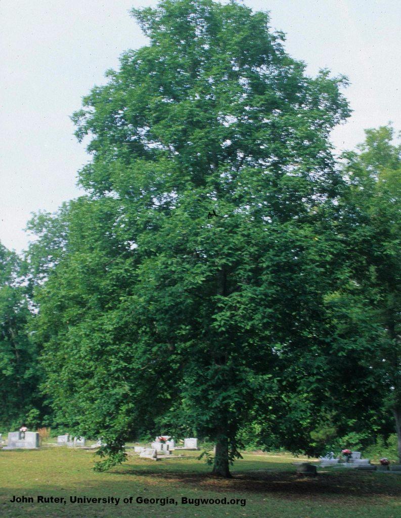 approx 6-10 Carya Tomentosa Mockernut Hickory tree plants